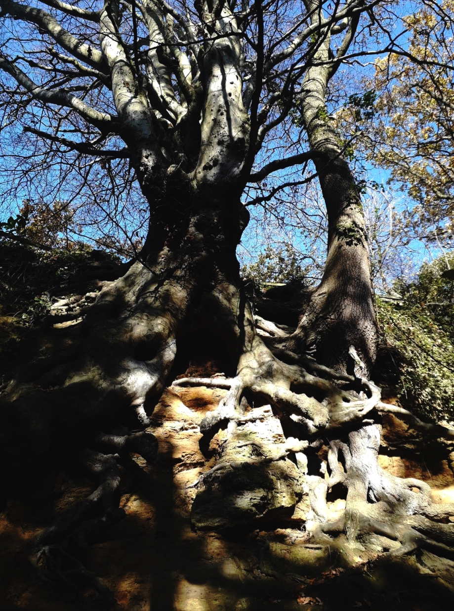 tall tree1